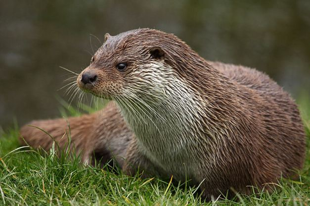 otter0011small