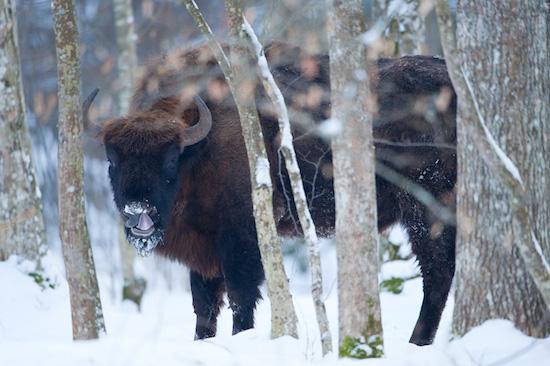 Mission: European bison