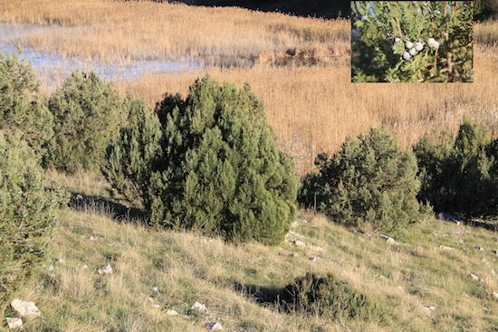 prespes juniperus