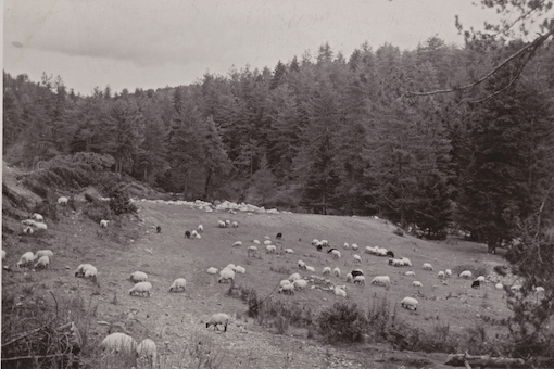 Ελληνικό ορεινό τοπίο τη δεκαετία του '50, με τη βόσκηση αρμονικά ενταγμένη στη διαχείριση του φυσικού περιβάλλοντος (από το αρχείο του συγγραφέα)
