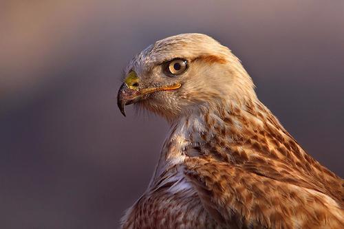 Internet Bird Collection (IBC)