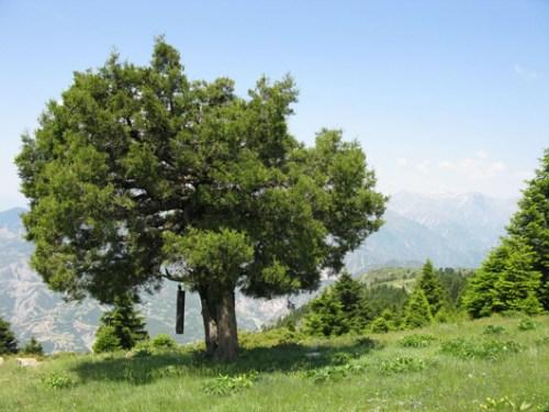 Άρκευθος η δυσοσμότατη, μαλόκεδρος (Juniperus foetidissima) στην Αργιθέα