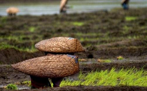 Οι Χάσι έχουν προσαρμοστεί στη συνεχή βροχόπτωση εδώ και αιώνες, χρησιμοποιώντας ρίζες από δέντρα καουτσούκ για διάφορες κατασκευές όπως γέφυρες, γνωρίζοντας πως η σήψη των συνηθισμένων ξύλινων κατασκευών θα ήταν εξαιρετικά γρήγορη.