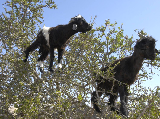 tree-goats