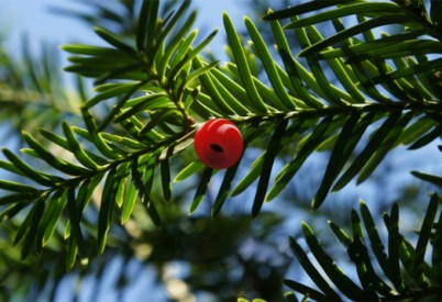 taxus_seed