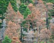 Νεκρώσεις Pinus silvestris στα Πιέρια όρη