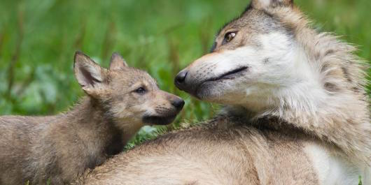 Timber wolves (Canis lupus lycaon), adult with cub, Game Reserve, Bavaria, Germany