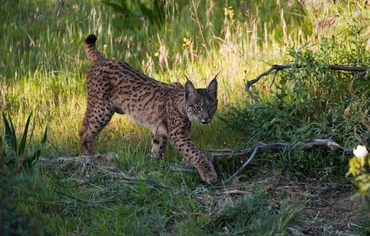 lygkas Lynx pardinus