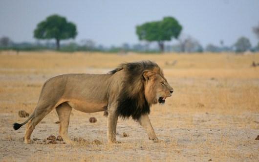 leontari lion