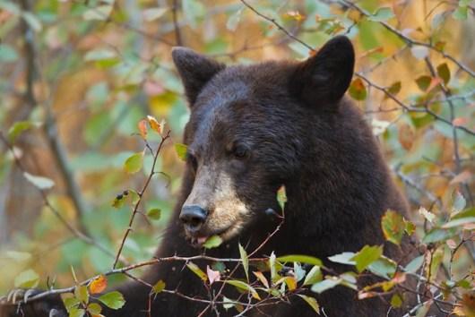 black-bear-eating-berries
