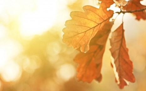 autumn-oak-leaf-wallpaper-2