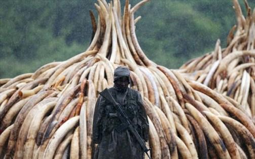 Οι λαθροκυνηγοί μπορούν να πουλήσουν ένα κιλό ελεφαντόδοντου στη μαύρη αγορά για περίπου 1.000 δολάρια.