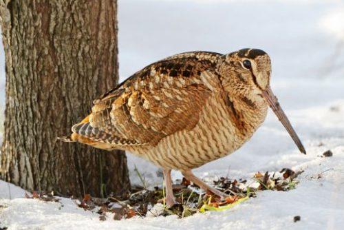 winter_woodcock