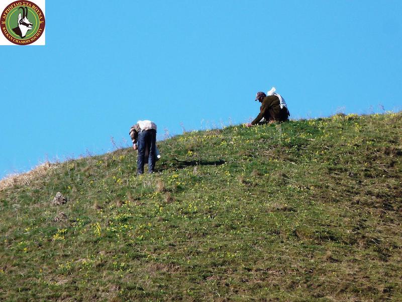 Τα βότανα των ελληνικών βουνών στα σύνορα συλλέγουν παρανόμως ...