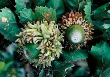 Quercus ithaburensis ssp macrolepis