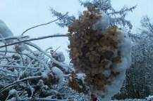 Vertrocknete Hortensienblüte mit Schnee