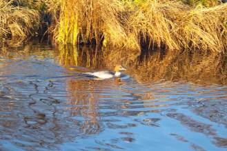 Gräuliche Ente mit dunklerem Rücken und hellbraunem Kopf. Der Schnabel ist rötlich.