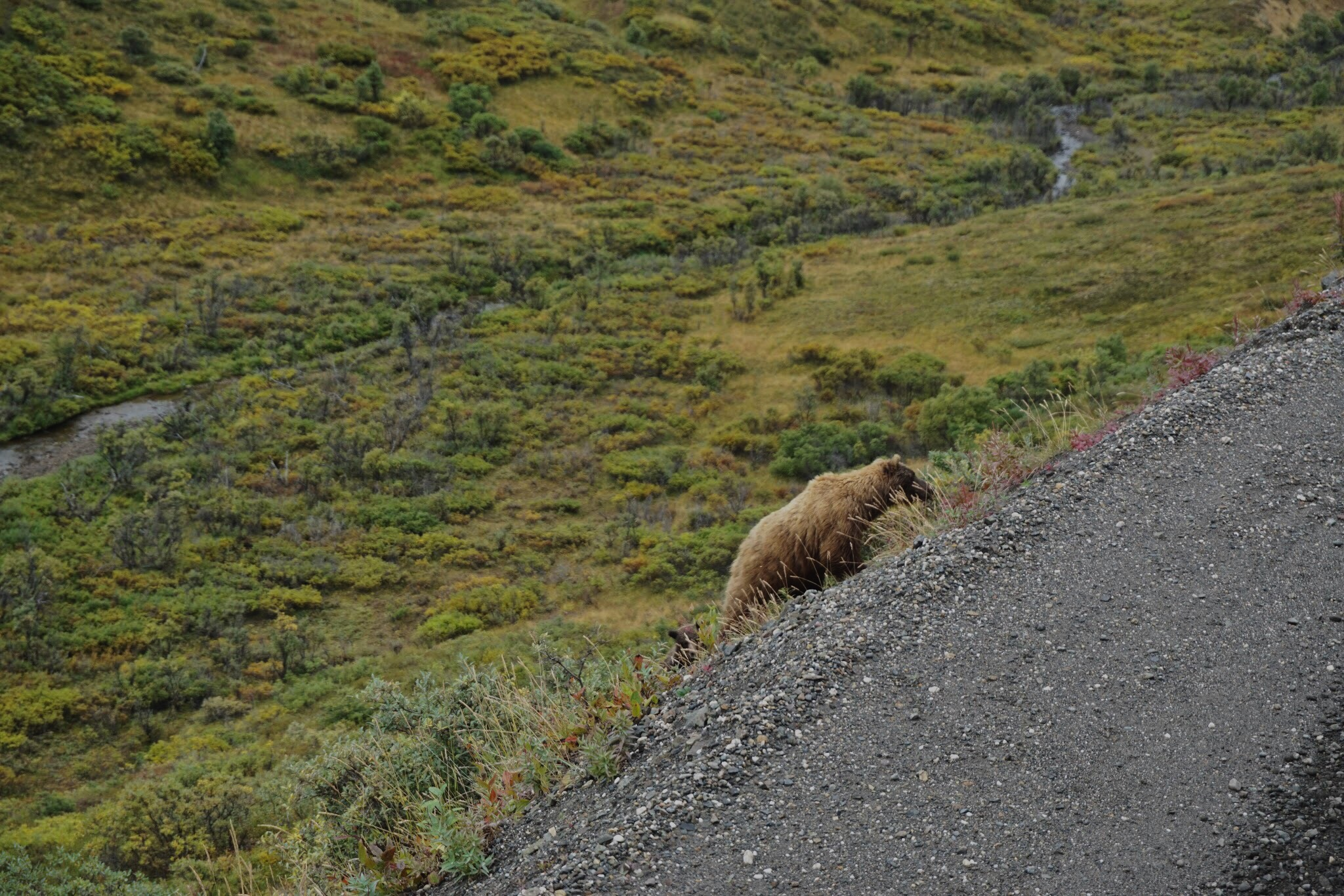Grizzly in Denali National Park