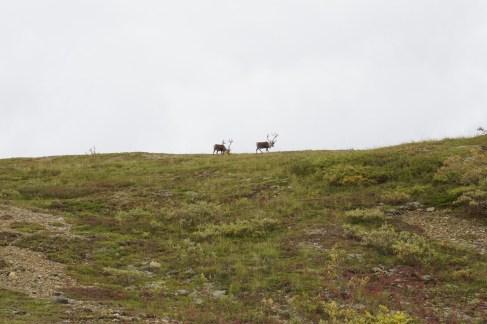 Caribou in Denali National Park