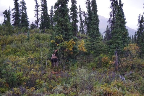 moose denali national park