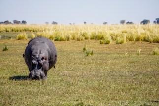 Solo Hippo
