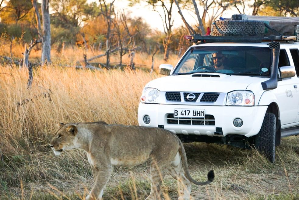 Lion Proximity Photo