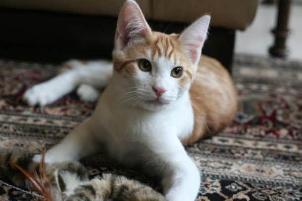 Colehaus Cats, Quint, Dash Kitten