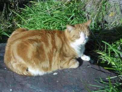 Ginger cat image Dash Kitten