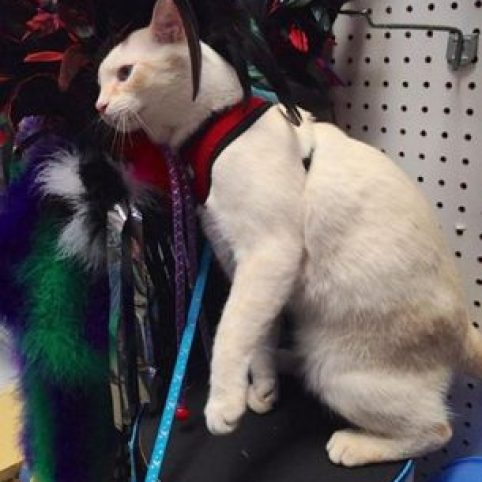 Yanni out and about! Therapy Cats can have fun! © Anne Ross