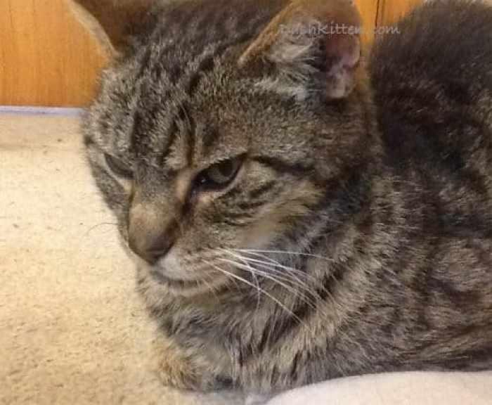 Senior Cat Nemo the tabby Cat Close up