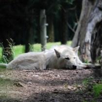 Grey Wolf Image