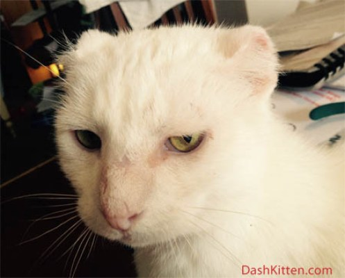 cat ear surgery Harvey from DashKitten.com
