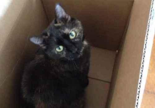 Sienna the tortoishell cat
