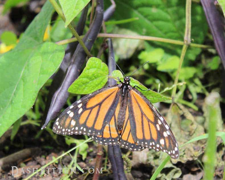 The Monarch Butterfly