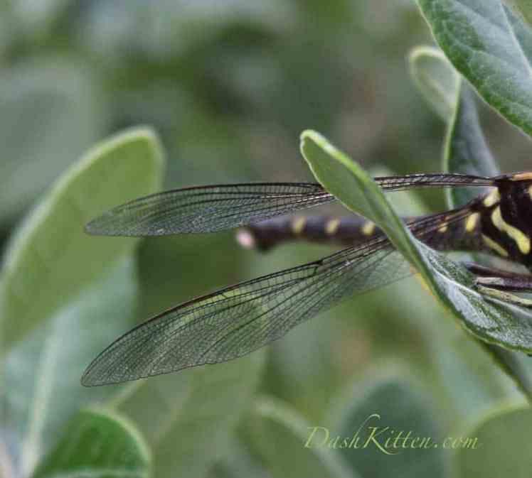 Giant Dragonfly New Zealand Dash Kitten
