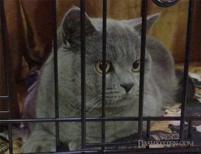 National Cat Show blue cat
