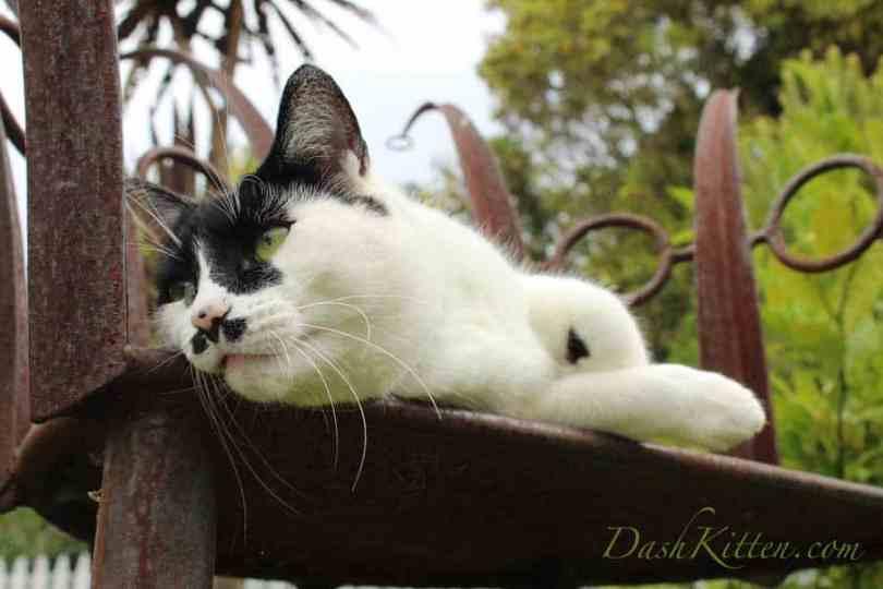 Natasha A Black and White Cat