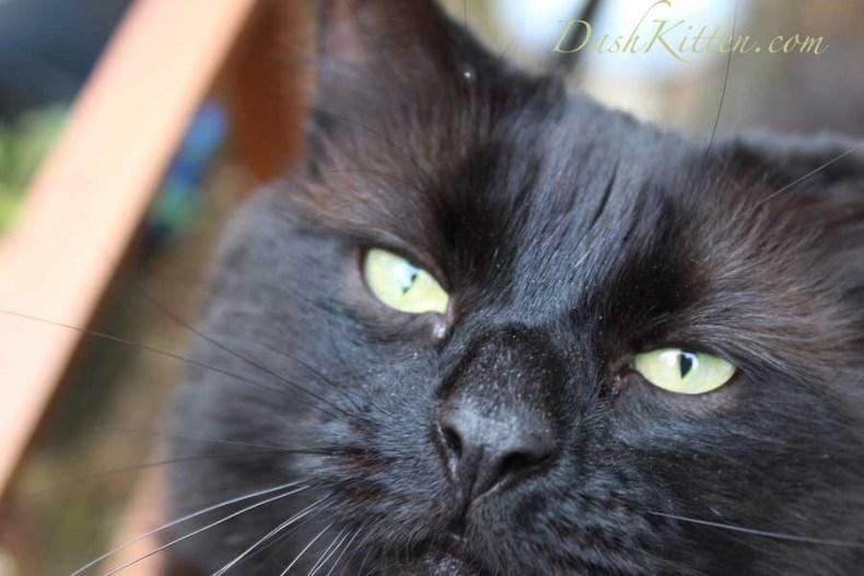 A cute selfie cat photo can charm everyone. Dark Cat Selfie Phoebe