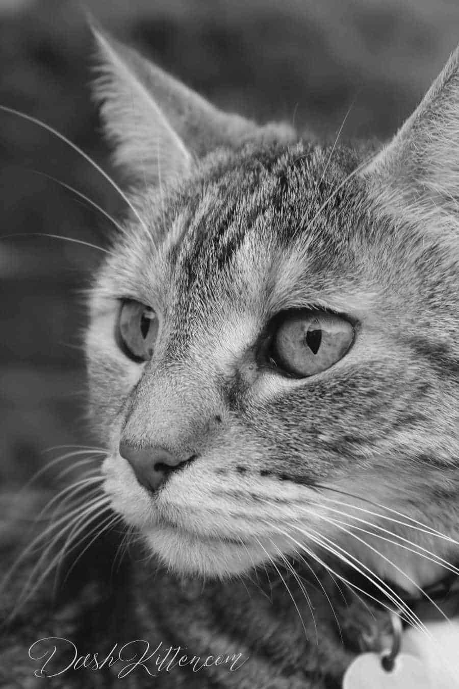 Tabby cat photography. Black and white closeup shot that is super sharp.