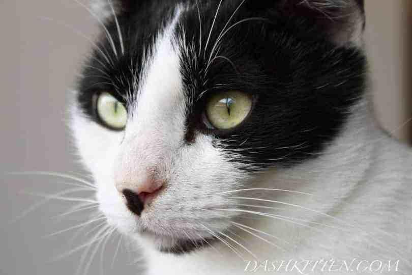 Chenzou Closeup of cat