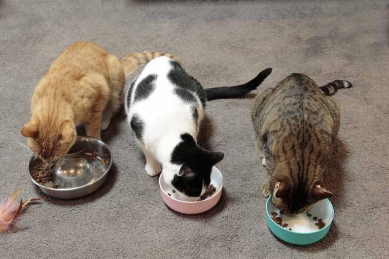 Capturing more than one cat in a photo Neko Ngeru Trio chow down for Dash Kitten