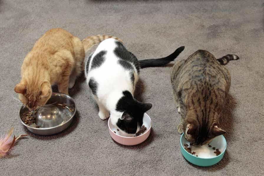 trio of cute cats at Neko Ngeru Trio chow down
