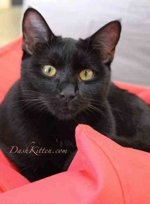 Black cat photograph of Po showing how bright colours compliment her fur