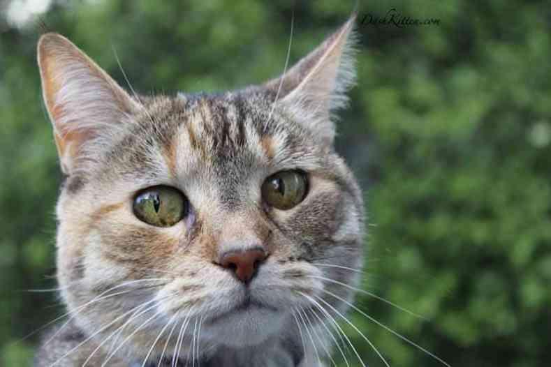 Head portrait of a tabby cat