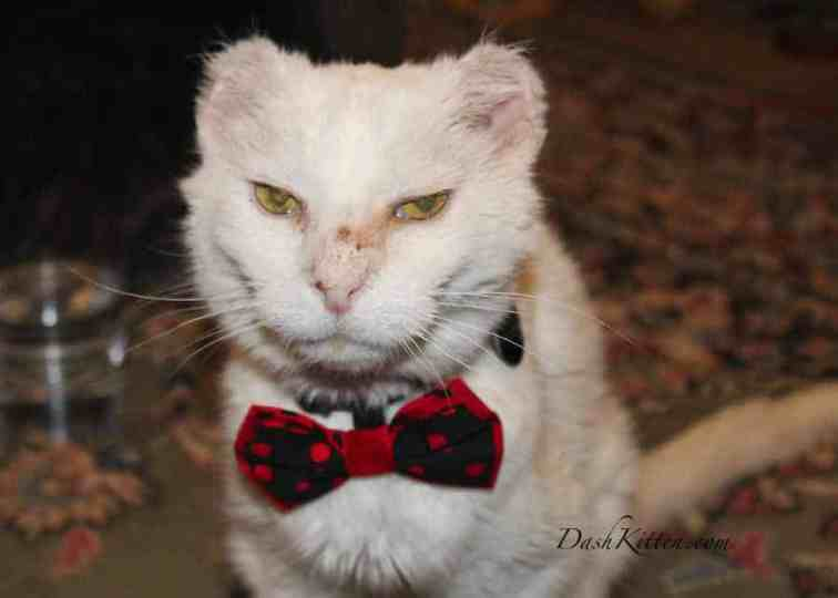 White Cat in a bow tie