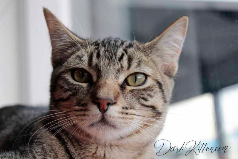 Full face photograph of a tabby cat by a shop window