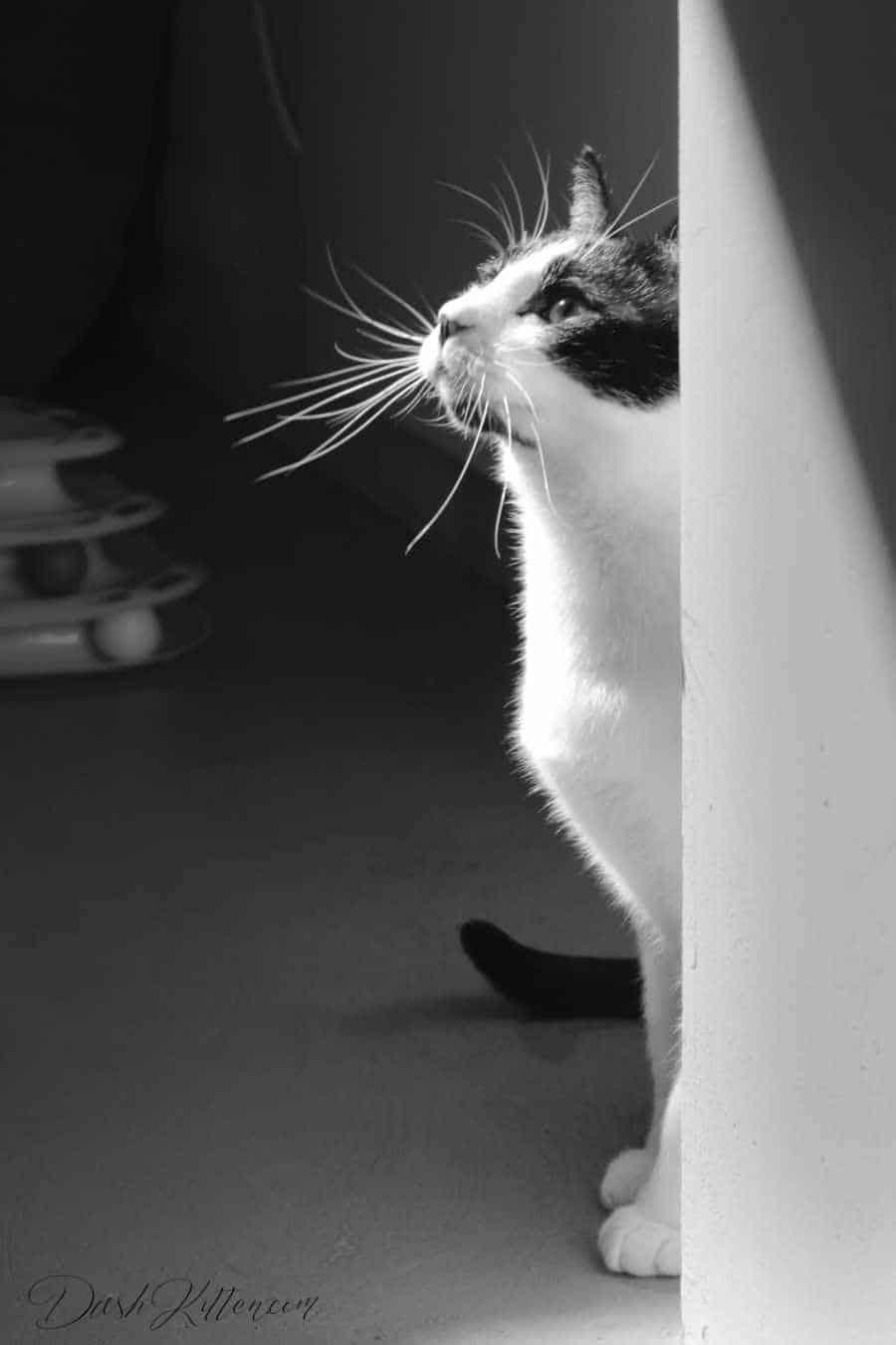 A Black and White Photographic Portrait 'Chenzou Surveys the Cat Cafe'