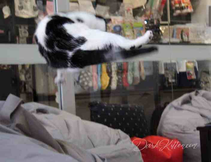 leaping cat captured at the local cat cafe photo session