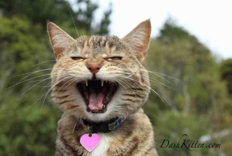 Cat photo of tabby shouting loudly