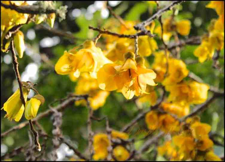 Colourful yellow Kowhai blossom photograph